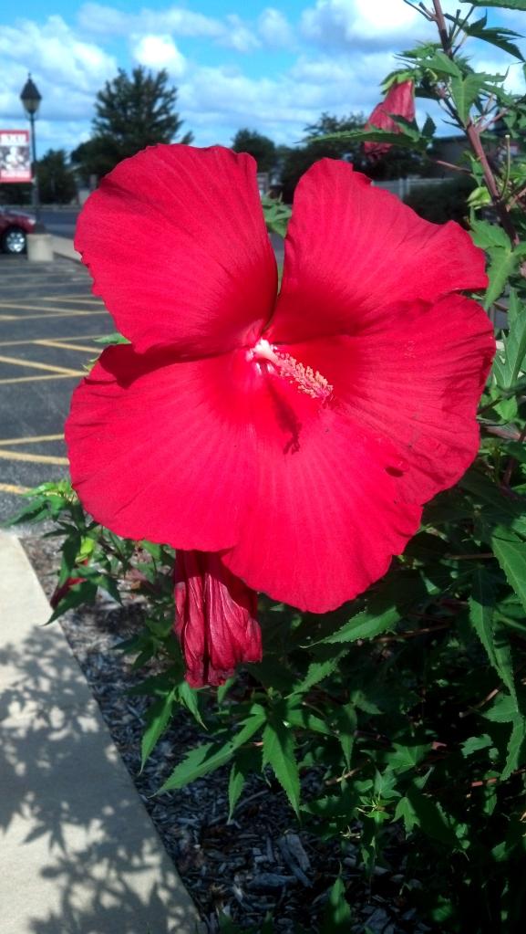 Beautiful Hibiscus bush on St. Xavier campus